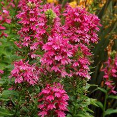 "Hummingbird nectar plant for a flower garden - Lobelia 'Monet Moment' -- Cardinal Flower - hardy zones 4-9 - Height 20-36""/Spread 12-16"""