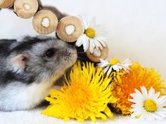 Cute hamsters decorated our pictures. Here are the hamster wall papers. We present you with some lovely 32 hamster backgrounds and information about hamams. Hamster Wallpaper, Cute Hamsters, Pictures, Animals, Photos, Animaux, Animal, Animales, Drawings