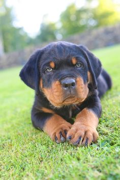 Rottweiler ❤ our future family dog!!!