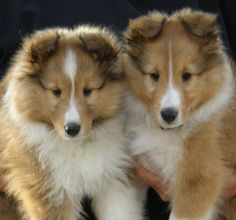 Need this breed of puppy (Shetland sheepdog)