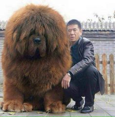 Tibetan Mastiff - want this massive, cuddly, teddy bear doggie! ♥ For some reason, I like dogs that are either very tiny, or totally huge. Not so much on average or in-between. Huge Dogs, Giant Dogs, Cute Big Dogs, Cute Baby Animals, Animals And Pets, Funny Animals, Beautiful Dogs, Animals Beautiful, Tibetan Mastiff