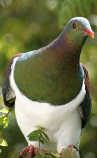 New Zealand wood pigeon near Beechwood Lodge. Photo Author: Justin Bell.
