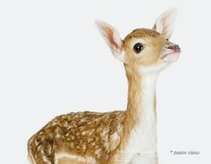 The Animal Print Shop by Sharon Montrose Baby Deer, Oh Deer, Lil Baby, Deer Pictures, Animal Pictures, Deer Photos, Beautiful Creatures, Animals Beautiful, Animal Print Shop