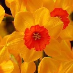 Die Narzisse 'Ambergate' blüht in warmem Gelb und Orange - toll für den Frühlingsgarten! Pflanzzeit ist Herbst - online erhältlich bei www.fluwel.de