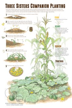 Homestead Gardens, Farm Gardens, Growing Plants, Growing Vegetables, Companion Gardening, Vegetable Companion Planting, Companion Planting Chart, Gardening Tips, Potager Bio