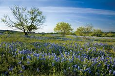 April 13-22: Wine and Wildflowers Trail, Fredericksburg    Let us drive you - take the tour with us - our rates include 5 tastings.  Phone: 830-997-TOUR  Toll Free: 877-TEX-WINE  tour@texas-wine-tours.com      Thirty-three wineries scattered throughout the Texas Hill Country participate in the annual Wine and Wildflowers Trail.