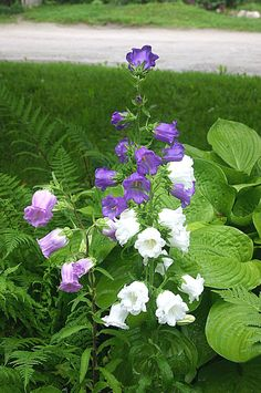 This biennial grows to a height of feet. Blooms are double bells that look like cups and saucers and come in shades of white, pink, blue and lavender. 100 seeds Plus Garden Shrubs, Shade Garden, Garden Plants, Container Plants, Container Gardening, Canterbury, Purple Flowers, Beautiful Flowers, Deco Floral