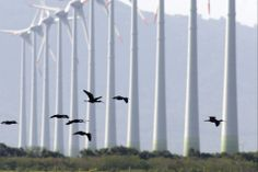 Osório Wind Farm: fair winds to Brazil. >> http://bit.ly/IJkhoD  Parque Eólico de Osório: bons ventos para o Brasil. >> http://bit.ly/1d2jFUy  #renex2013 #birds #wind #energia #Brasil #shot #picture #view #nature #green #rethink #renewable #consciousness #environment #love #energiaeolica #Brazil #Brazilian #alternativeenergy #renewableenergy #energy #windpower #Osorio #RioGrandesoSul #RS