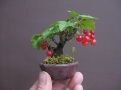 盆栽:スグリが赤く色づく|春嘉の盆栽工房. Bonsai: currant is red and turns red and yellow | bonsai workshop HaruYoshimi.