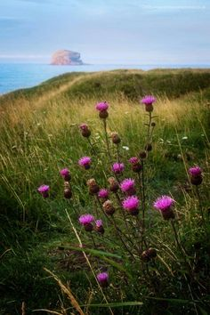 Bass Rock, Scotland by Damon Finlay Scotland National Flower, England Ireland, Celtic Heart, Going Home, Mother Earth, Beautiful Landscapes, Wonders Of The World, Wild Flowers, Landscape Photography