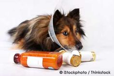 Learn important information about pet diabetes, including pet diabetes symptoms, and what you can do to help prevent this devastating disease. http://healthypets.mercola.com/sites/healthypets/archive/2010/11/25/preventing-pet-diabetes.aspx