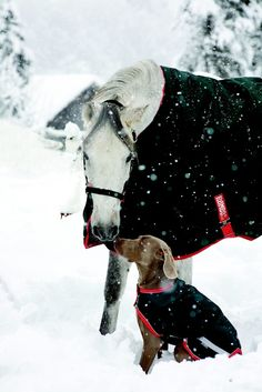 Snowy horse and dog