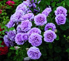 Love Song - Floribunda, mauve, very full, 2011, not yet rated by ARS.