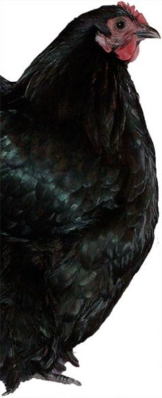 Black-Orpington-Grant-9016
