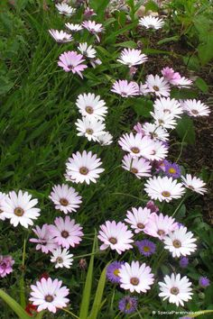 Osteospermum Lady Leitrim - long flowering perennial - need to try these