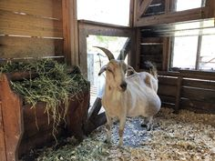 I still have chickens and other birds, but I also have calves and goats as part. Goat Playground, Different Types Of Animals, Types Of Chickens, Goats, Goat