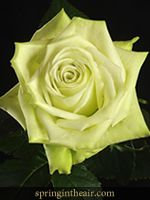 25 Long Stem (24 inch) Green Fresh Roses