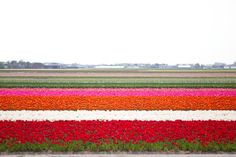 Tulip Fields in Holland: a Must-See in the Springtime.