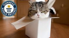 Maru - The cat with the record for most watched animal on YouTube - Japa...