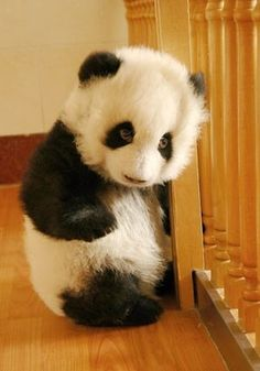 Baby panda STOP IT! I can't handle any more cute. I soooooo want a Panda. I want Pandaland . These Panda photos are just so gorgeous. Oh I'm going to have to do Panda board. Cute Baby Animals, Animals And Pets, Funny Animals, Baby Pandas, Wild Animals, Baby Owl, Baby Baby, Panda Love, Cute Panda