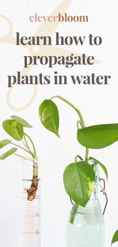 Learn how to root plant cuttings in water the easy way! Follow step by step instructions to make your very own new plants. #houseplants #propagate #propagation #indoorgardening Plant Cuttings, Propagation, Pathos Plant, Snake Plant Care, Indoor Plant Pots, Potted Plants, Plant Crafts, Winter Plants, Planting Vegetables