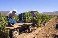 Despite a lack of recognition abroad and a drug war that has made tourists flee, Mexico's winemakers see cause to celebrate as drinking habits evolve in the land of tequila.    Production increased almost 40 percent in the past five years, causing cheer at the annual Vendimia harvest festival in Baja California, where 90 percent of Mexico's wine is produced.