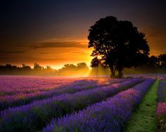 Lavender field at first sunset via Ward Warrie's photos on FB