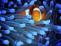 Clownfish at the barrier reef. I love how these guys hide in the coral. :)