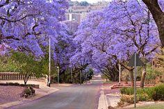 Jacaranda Tree, Arcadia, Pretoria