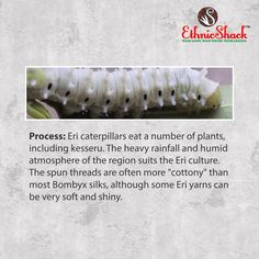 The caterpillars from which I am made eat a number of #plants, including kesseru and are grown in the #Indian #states of #Assam, #Meghalaya,# Nagaland,# Manipur, #ArunachalPradesh, #Bihar etc.