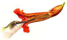 'Ruby-throated Hummingbird, Trumpet Creeper (Archilochus colubris, Campsis radicans)'