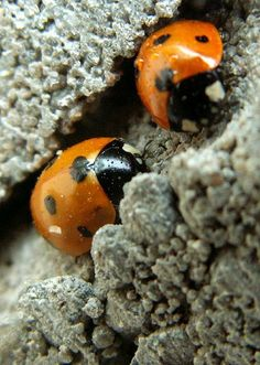 I'd say ladybugs, but those are more red.  I think these are the dreaded Chinese beetles that mimic them.