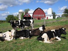 Moo | A content group of cows pondering the mysteries of lif… | Flickr