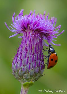 Lady-bug on Thistle; Flower Pictures, Nature Pictures, Photo Coccinelle, Wild Flowers, Beautiful Flowers, Amazing Nature, Amazing Gardens, Backyard Landscaping, Animals Beautiful