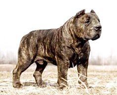Presa Mayo,a concept breed Large Dog Breeds, Large Dogs, Presa Mayo, Really Big Dogs, Animals And Pets, Cute Animals, Presa Canario, Giant Dogs, Bully Dog