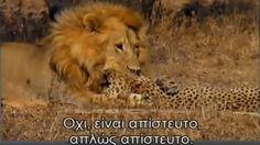 Leones Asesinos de Guepardos   Real Video de Leones Atrapando y Matando ...
