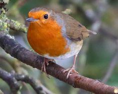 Rare Birds, Little Birds, Robins, Bird Feathers, Beautiful Birds, Cute Animals, Wildlife, Photos, Creatures