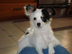 Papillon with drop ears are known as phalene papillon ( moth ) Description from lovable-puppy.blogspot.com. I searched for this on bing.com/images