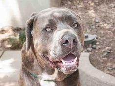 Pet Adoption has dogs, puppies, cats, and kittens for adoption. Adopt a pet Mastiff Mix, Mastiff Dogs, Bull Terrier Mix, Pitbull Terrier, Italian Cane Corso, Neapolitan Mastiffs, Pasadena California, Pet Care, Pet Adoption
