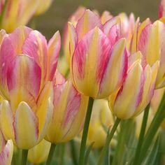 Antoinette Multiflowering Tulips