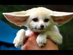 Маленькая лиса Фенек. Позитивная Подборка 2016 - YouTube