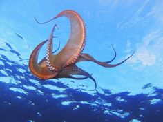 Guide to the best places to go snorkelling around Gran Canaria. There are octopus everywhere, but you won't see them swimming very often.
