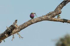 Lilac-breasted roller with a snake for lunch - Shumba Camp, Kafue Zambia