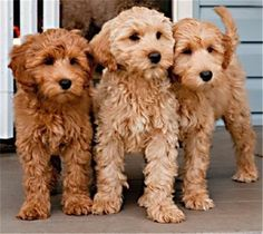 Labradoodle - Labrador and Poodle Puppies And Kitties, Cute Puppies, Cute Dogs, Animals And Pets, Baby Animals, Cute Animals, Cocker Spaniel Mix, Amor Animal, Oragami