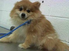 DOUG (A1641374) I am a male gold Pomeranian.  The shelter staff think I am about 5 years old.  I was found as a stray and I may be available for adoption on 09/11/2014.