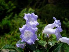 Neelakurinji (Strobilanthes kunthiana) blossom once in 12 years in the Annamalai hills of the Western Ghats in India