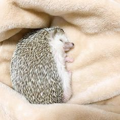 Hedgehog Care, Baby Hedgehog, Lil Herb, Animals And Pets, Funny Animals, Cute Little Animals, Animal Fashion, Animal Memes, Beautiful Creatures