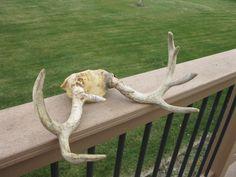 Nebraska Whitetail Deer Antlers - 5 X 3 - Brow Tines- Hunting Decor -Cabin decor - Lodge -  Man Cave- Deer Rack - rustic - vintage - 1982 by oakiesclaptrap on Etsy