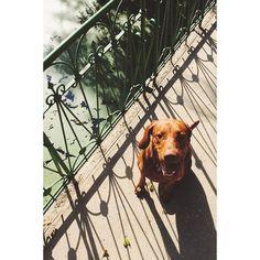 #sunday in #berlin #tiergarten with my pal.  #sandorthevizsla #sundaymood #vizslasofinstagram #vizsla #sundaychillin #dog #dogsofinstagram #fb