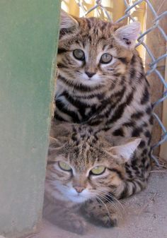 AFRICAN BLACK FOOTED CATS